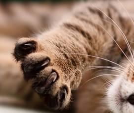 Macskakaparó